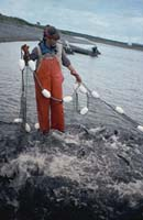 Jane Browning keeps salmon from escaping in Lower Ugashik Lake. July, 1995