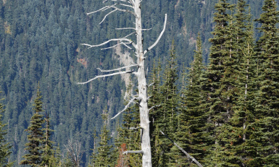 Snag in Mt Rainier National Park